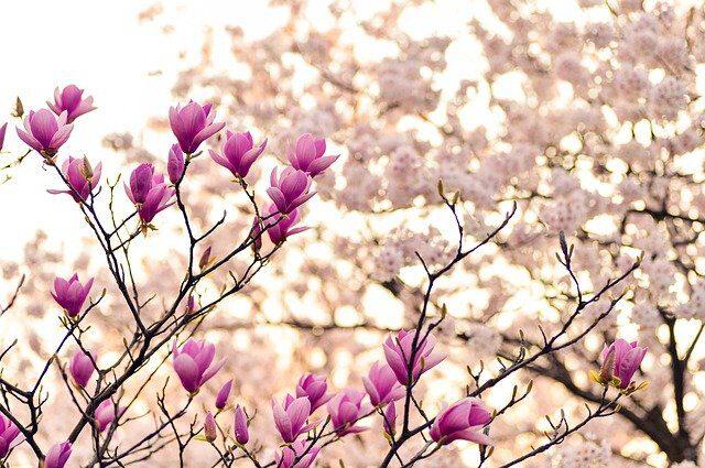 magnolia-2218788_640.jpg